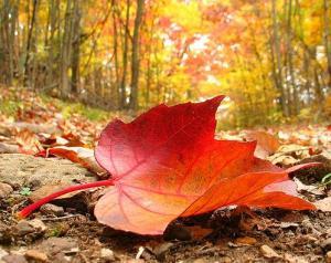 autumn-leaf